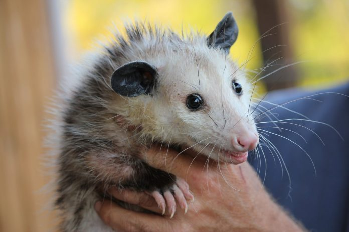 Possum removal and trapping