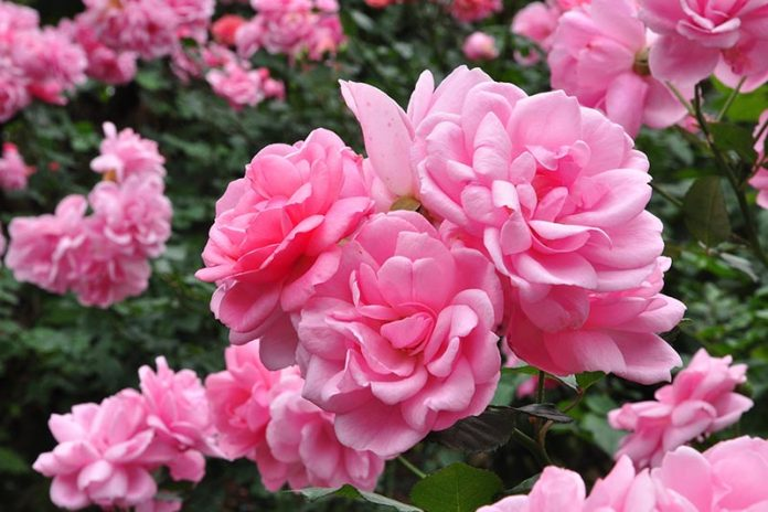 Beyond a Rose Blush 7 of the Most Romantic Flowers for Intense Passion
