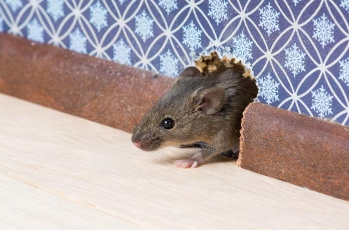 How to Get Rid of Mice in Your Home